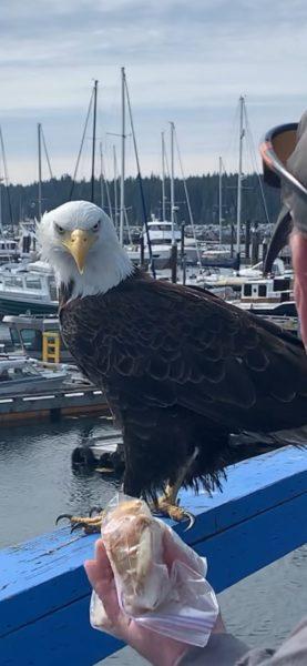Eagle at Port McNeill Marina